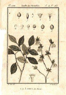 "buffon botanical french 1775 engraving 4 x 6""  $25 - 13"