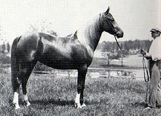 MOLIAH 1911 chestnut mare (*Hamrah x *Wadduda) Sassy's GGGG grandma, mother of Antez, so times 5, She looks BIG