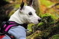 #Koira #dog Trina