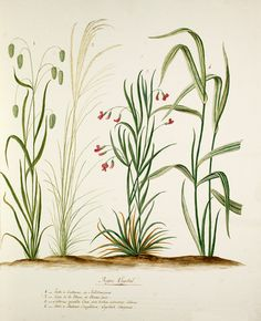 Pierre François Ledoulx -- Grass and pea species -- Pierre François Ledoulx -- Artists -- RHS Prints