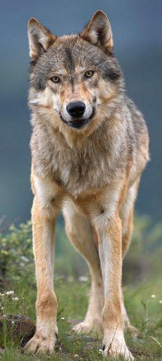 **Wolf