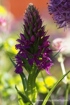 Dactylorhiza 'Sir Simon Milton' (Aristocrat x D. purpurella) pictured in The Sir Simon Milton Foundation Urban Connections Garden, at The RHS Chelsea Flower Show Memorial Plants, Chelsea Flower Show, Mauve Color, Grasses, Shades Of Purple, Orchids, Connection, Foundation, Veggies
