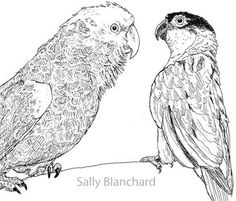 Sally Blanchard - Pen Drawing Double yellow-head Amazon Black-headed Caique Agonistic Behavior