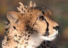 Bad Hair Day For a Cheetah.