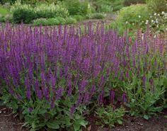 Salvia nemorosa ' Ostfriesland' - Google zoeken