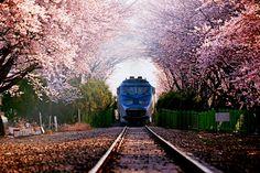 벚꽃속의 경화역