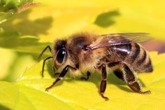 Tem problemas com abelhas? Veja aqui os serviços de Companhia Europeia de Desinfeções http://ced.pt/pt/servicos/controlo-de-pragas/insetos-voadores/vespas-e-abelhas/