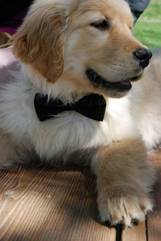 Golden retriever puppy. What a cutie #goldenretrievers