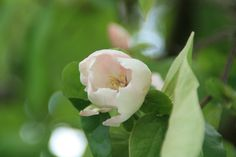 kwee bloem