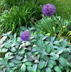 Alliums and Lamb's Ears