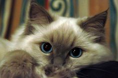 ragdoll cats | We live in Greenock, Inverclyde, in the West of Scotland, where our ...