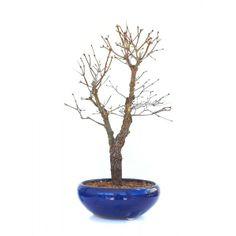 Acheter ce Superbe Bonsaï Acer Palmatum Arakawa 53 cm importé du Japon chez votre Spécialiste du Bonsai en Ligne, Sankaly Bonsaï