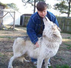 wolf dog - Google Search