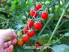 Time-Limit!!tomato cherry tomato tree seeds tomato seedlings 100 pcs/Bag,#BR9P6U