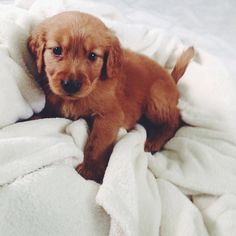 Golden Retriever Pup ♥♥♥ So cute 💗 Cute Puppies, Cute Dogs, Dogs And Puppies, Doggies, Animals And Pets, Baby Animals, Cute Animals, Cute Creatures, I Love Dogs