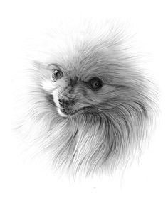 pomeranian pencil drawings | Pomeranian Drawing Nemo the pomeranian again