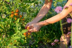 If you want tomatoes that have less disease, provide earlier harvests and produce more fruit you should be pruning your tomato plants.