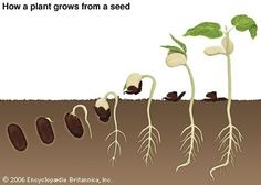 Art:A bean is the seed of a bean plant. When the seed germinates, or starts to grow, small parts inside the seed grow into the root and stem. Most of the seed is used for food by the young plant. When the plant grows green leaves it begins to make its own food by photosynthesis.