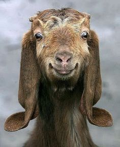 Be Billy The Smiling Goat Today! Follow @ashersocrates