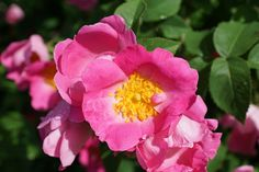 rose-hip-809291_1280 Garden, Bloom, Plants, Nature, Blossom, Flowers, Rose