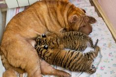 Una perra Shar Pei cuidando de dos tigres siberianos  El dicho de que perros y gatos no se entienden no se cumple en esta ocasión.   En el zoológico Sochi (Rusia) nacieron el mes pasado dos tigres siberianos (Panthera tigris altaica) a los que se ha bautizado con los nombres de Clyopa y Plyusha.