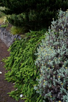 Picea (prostrate form) over a wall | by KarlGercens.com GARDEN LECTURES