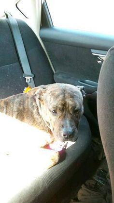Bonnie Horowitz-GorlickCT Lost Pets March 27 ·   Reported on ACC LOST: New Milford, CT ID#1691150 I am a female Pit Bull Terrier. My owner says I am over 1 year old. I have the following characteristics: She's a brindle pitbull with a purple collar and leash. She has a hotspot on her back by her tail and a rash under her front leg. She's got deep brown eyes as well. I was lost on 03/23/2017. I was last seen at Grove Street New Milford CT 06776.