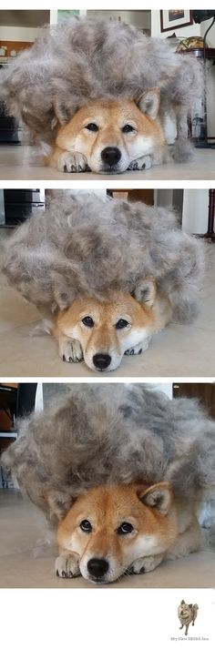 Shiba Inu Shedding! Shiba Inus shed heavily twice a year. This is Shiba Inu Kitsunes shedding from just one session of brushing! Love Shiba Inu's? Learn more about this breed at www.myfirstshiba.com