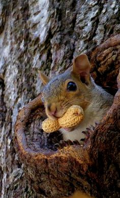Squirrel holding a peanut in its mouth. Today's dose of squirrel cuteness. #waitingforRedsandGrays