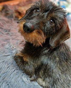 Dachshund Wirehaired Puppy
