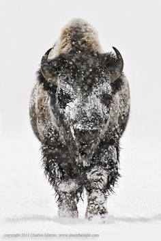 Heavy-duty wintertime. Snow-covered bison in Yellowstone National Park. Photography by Charles Glatzer