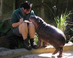 6 month old pygmy hippo Monifa snuggling up to her keeper at the Taronga Zoo.