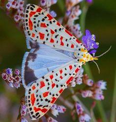 Crimson-speckled Flunkey (Utetheisa pulchella) by aqualune 83