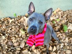MISTY - A1097070 - - Manhattan  Please Share:TO BE DESTROYED 11/30/16   A volunteer writes: Misty is just as soft and pretty as her name, and whether she's snuggling up a storm, following commands to a T or simply strolling down the street like she owns it (and she does), there's a quiet dignity to her pint-sized presence that turns admiring heads wherever she goes. That little peek-a-boo tongue coordinates perfectly with a pink scarf and does double duty as bot
