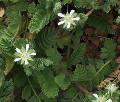 Horkelia marinensis—Point Reyes horkelia. Regional Parks Botanic Garden Photo of the Day. 19 May 2016