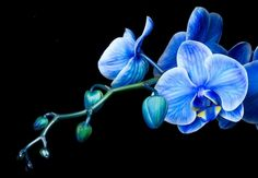 Blue Orchids | Blue Mystique Orchid - flower, blue mystique, orchid, flowers