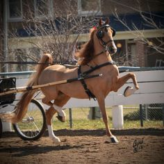 beautiful Saddlebred in Fine Harness