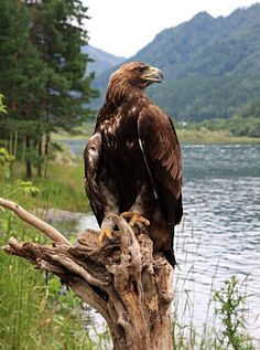 Photo about Golden eagle (Aquila chrysaetos). Image of predator, altai, detachment - 10461100 Pretty Birds, Beautiful Birds, Animals Beautiful, Raptor Bird Of Prey, Birds Of Prey, Eagle Animals, Animals And Pets, Photo Aigle, Eagle Pictures