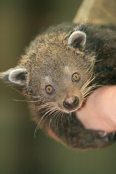 Bearcat, AKA Binturong, is neither a cat nor a bear, it is more like a civet.  They are nocturnal animals from the dense forests of Southeast Asia. Their long tails allow them to move from tree to tree to find food, as it acts as a third hand for the bearcat.