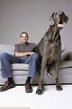 George the Great Dane is long, weighs and is the world's biggest dog. but he's terrified of chihuahuas. Devoted owner Dave Nasser with George, the world's biggest dog. Worlds Biggest Dog, World's Biggest, Baby Dogs, Dogs And Puppies, Doggies, World's Tallest Dog, Giant Dogs, Mundo Animal, Dogs Of The World