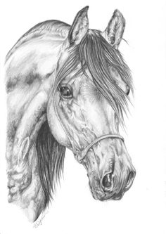 Arabian Horse Pencil Drawing Arabian horse