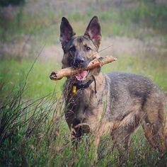 Potrenowane, pobiegane, wybawione... Akrywne przedpołudnie - zaliczone ✔ ...a wieczorem powtórka  #GermanShepherd #GSD #OwczarekNiemiecki #WorkingDog #workingdogsofig #germanshepherdsofinstagram #gsdstagram #instagsd #gsdsofigworld #gsdloverss #instadog #dogstagram #polishdog #warsawdog #pies #vascopoland #instadaily #doginthecity #bigcitylife #Waszawa #Warsaw #ilovemydog