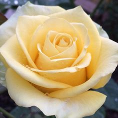 ~St. Patrick Hybrid Tea Rose