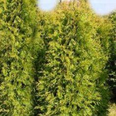 Thuja plicata 'Aurescens' - Goldspitzen-Lebensbaum 'Aurescens'