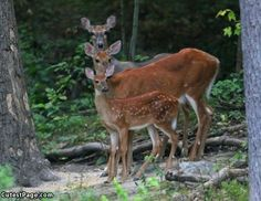 DEER - a glimpse of a family in the woods just thrills me