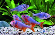 fresh water tropical aquarium fish