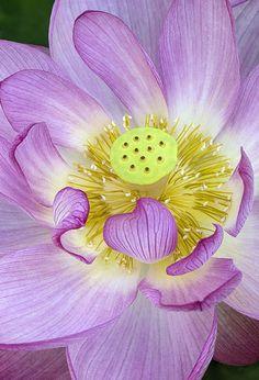 ~~Sacred Lotus lorez by Cindy Dyer~~
