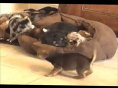 chiweenie pups playing, some of this is funny, some is just cute all are needing new homes soon! Chiweenie Puppies, Puppy Play, Homes, Funny, Cute, Animals, Houses, Animales, Animaux