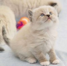 Ragamuffin Cats Kitten 1 Wallpapers