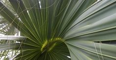 Palm Leaf West Palm Beach FL Garden, Nature, Texture, Travel  #DailyGratitude, #DailyMeditation, #gratitude, #nofilter, Anne Strasser Blog,  Daily Surprise, Florida, Meditation, Nokia Lumia 822, Palm, Palm Frond, Photography